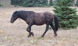 Wild Horse - Dirt covered Black Stallion in the Pryor Mountains Wild Horse Range in Montana USA Royalty Free Stock Image