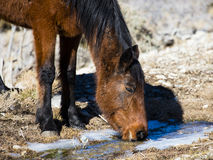 Wild horse drinking Royalty Free Stock Photography