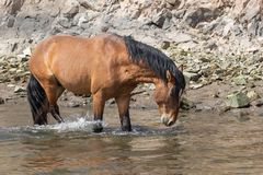 Wild Horse Drinking in Stream Royalty Free Stock Images