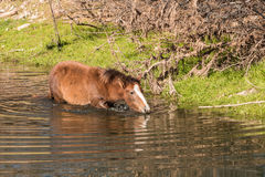 Wild Horse Drinking Royalty Free Stock Photos