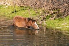 Wild Horse Drinking Royalty Free Stock Photos