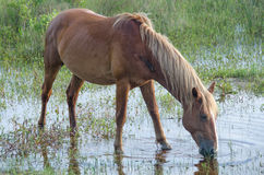 Wild horse drinking water from pond. Wild horse descendant of Spanish Mustangs feeds on the grasses of the dunes in Corolla, North Carolina in the Outer Banks Stock Photo