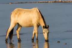 Wild Horse grazing in lake stock photography