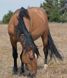 Wild Horse Dun Buckskin Stallion on Sykes Ridge in the Pryor Mountains in Montana Stock Photography