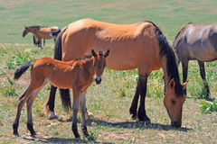 Wild Horse Dun Mare and baby in the Pryor Mountains Wild Horse Range Stock Image