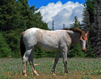 Wild Horse Dun Roan Yearling Mustang Mare Stock Photo