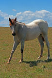 Wild Horse Dun Roan Yearling Mustang Mare Royalty Free Stock Photos