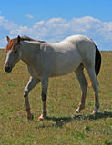 Wild Horse Dun Roan Yearling Mustang Mare Royalty Free Stock Photo
