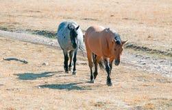 Wild Horse Dun Stallion and Blue Roan Mare on Tillett Ridge in the Pryor Mountains on the Montana Wyoming state line border. USA stock photo