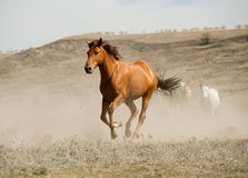 Wild horse in dust Royalty Free Stock Photos