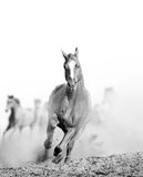 Wild horse in dust. Running Stock Photography