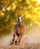 Wild horse in dust Stock Photography