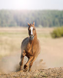 Wild horse in dust Stock Images