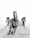 Wild horse in dust Royalty Free Stock Photography