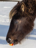 Wild horse eating an apple in the snow Stock Image