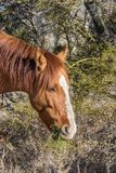 Wild Horse Eating in the Desert. A wild horse eating in the Arizona desert near the salt river Royalty Free Stock Photo