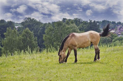 A wild horse eating grass. A brown horse in a summer meadow Royalty Free Stock Photography