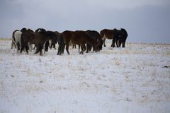 Wild horse on the winter field. Royalty Free Stock Photography