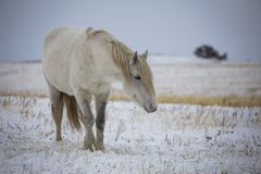 Wild horse on the winter field. Royalty Free Stock Image