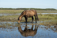 Wild horse eating Stock Photo