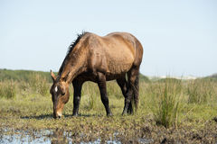 Wild horse eating Stock Images