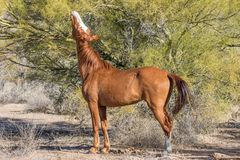 Wild Horse Eating a Palo Verde Tree in Arizona. A wild horse of the salt river herd eating a palo verde tree in the Arizona desert Royalty Free Stock Photography