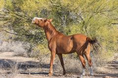 Wild Horse Eating Palo Verde Tree. A wild horse eating a palo verde tree in the Arizona desert near the Salt River Stock Photography