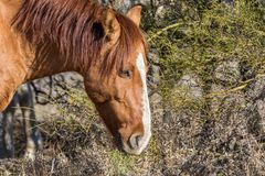 Wild Horse Eating. A wild horse eating in the Arizona desert near the salt river Royalty Free Stock Image