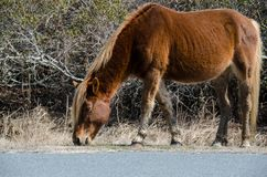 Wild horse eats grass along side of the road - Assateague Island National Seashore stock image