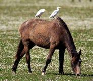 Wild Horse, Egrets, Spain Stock Images