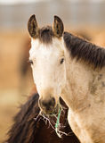 Wild Horse Face Portrait Close Up American Animal Royalty Free Stock Images