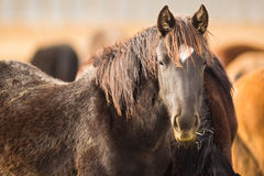 Wild Horse Face Portrait Close Up American Animal Royalty Free Stock Photos