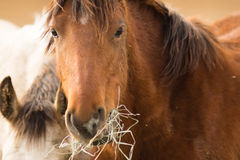 Wild Horse Face Portrait Close Up American Animal Stock Photo