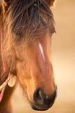 Wild Horse Face Portrait Oregon Bureau of Land Management Royalty Free Stock Photography