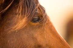Wild Horse Face Portrait Oregon Bureau of Land Management Stock Image