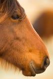 Wild Horse Face Portrait Oregon Bureau of Land Management Stock Photography