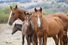 Wild horse family. Horse herd Stock Photography