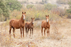 Wild horse family Royalty Free Stock Photo