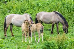 Wild horse family in the wild royalty free stock photography