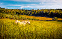 Wild horse on farmland. Landscape of tuscan farmland with white horse in the middle Royalty Free Stock Photos