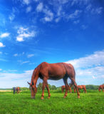 Wild horse on the field Royalty Free Stock Photo