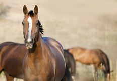 Wild horse in the field Stock Image