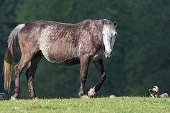 Wild horse on the field stock image