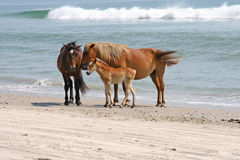 Wild horse and foal on beach Royalty Free Stock Photo