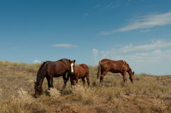 Wild horse with a foal. Royalty Free Stock Photo