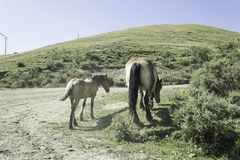 Wild Horse and Foal Stock Photography