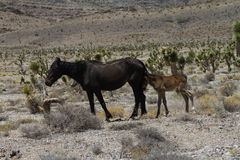 Wild Horse with foal in Nevada desert Royalty Free Stock Photo
