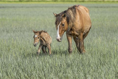 Wild horse with foal on the outerbanks of North Carolina royalty free stock photography