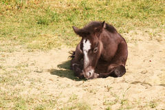 Wild horse foal. A wild horse foal in the sand resting Stock Photos