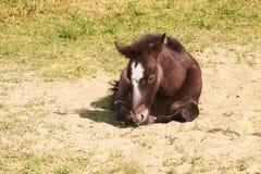 Wild horse foal Stock Photos